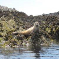 Seal At Rhoscolyn Beacon